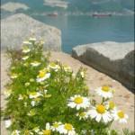 Ромашка аптечная, ромашка лекарственная — Matricaria chamomilla L.