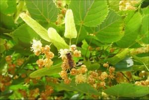 Липа сердцевидная, липа мелколистная — Tilia cordata Mill. (Tilia parvifolia Ehrh.)