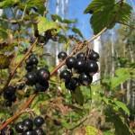 Смородина черная — Ribes nigrum L.
