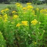 Пижма обыкновенная, дикая рябинка — Tanacetum vulgare L.