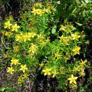 Зверобой продырявленный, зверобой обыкновенный — Hypericum perforatum L.