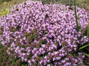 Тимьян ползучий, чабрец, богородская трава — Thymus serpillum L.s.l.