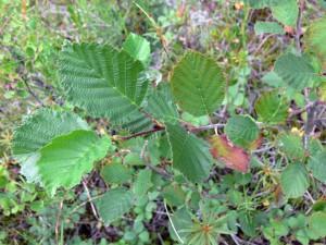 Ольха серая — Alnus incana (L.) Moench.