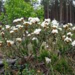 Багульник болотный — Ledum palustre L.