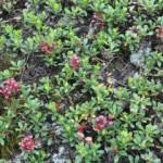 Толокнянка обыкновенная, медвежье ушко, мучница — Arctostaphylos uva — ursi (L.) Spreng.