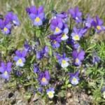 Фиалка трехцветная, анютины глазки, иван-да-марья — Viola tricolor L.