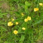 Лютик едкий — Ranunculus acer L.