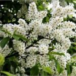 Черемуха обыкновенная — Padus racemosa (Lam.) Gitib. (Prunus padus L.)