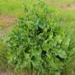 Щавель конский, щавель густой — Rumex confertus Willd.
