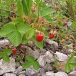Земляника лесная — Fragaria vesca L.