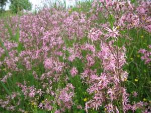 Коронария, кукушкин цвет, горицвет кукушкин — Coronaria flos — cuculi (L.) A. Br.