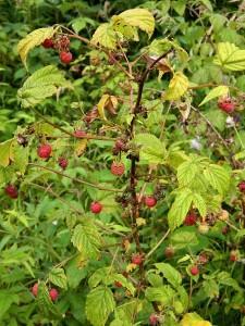 Малина обыкновенная — Rubus idaeus L.