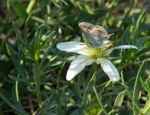 Гармала обыкновенная (Пеганум гармаловый) Peganum harmala L.