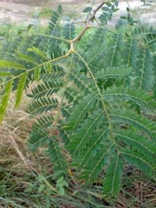 Гледичия трёхколючковая (Гледичия обыкновенная) Gleditsia triacanthos L.