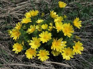 Адонис весенний, горицвет весенний, черногорка, стародубка — Adonis vernalis L.