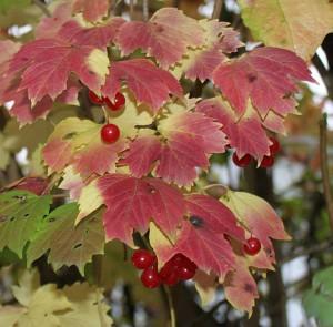 Калина обыкновенная —  Viburnum opulus L.