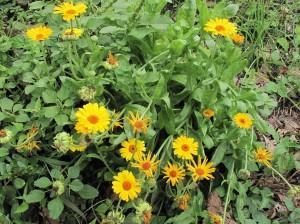 Ноготки лекарственные, календула лекарственная — Calendula officinalis L.