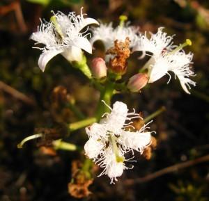 Вахта трехлистная, трилистник водяной, трифоль — Menyanthes trifoliata L.