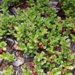 Брусника — Vaccinium vitis — idaea L.