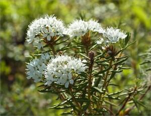 Багульник болотный,Ledum palustre L.