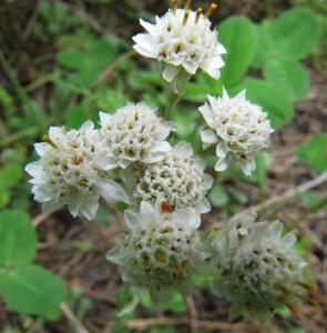 Кошачья лапка двудомная — Anthenaria dioica (L.) Gaertn