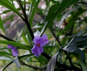 Паслён дольчатый (Паслён глубокоразрезанный) , Solanum laciniatum Aiton