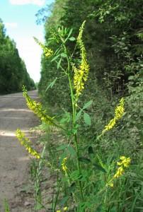 Донник лекарственный — Melilotus officinalis (L.) Desr.