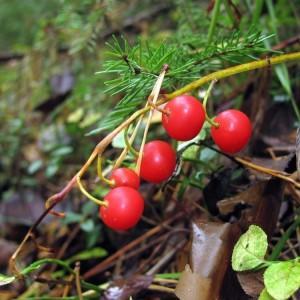Ландыш майский,Convallaria majalis L.