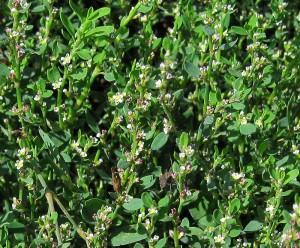 Горец птичий, спорыш, птичья гречиха — Polygonum aviculare L.