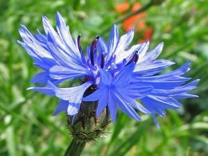 Василек синий, василек посевной — Centaurea cyanus L.