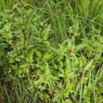 Череда трехраздельная, золотушная трава — Bidens tripartita L.