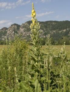 Коровяк скипетровидный, коровяк высокий, дивина — Verbascum thapsiforme Schrad.