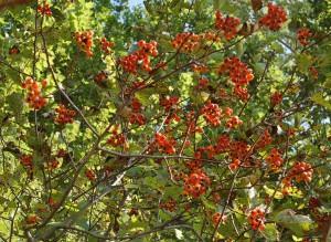 Боярышник кроваво-красный — Crataegus sanguinea Pall.