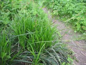 Осока парвская (Осока коротконосиковая). Carex brevicollis DC.
