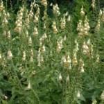 Наперстянка крупноцветковая — Digitalis grandiflora Mill. (Digitalis ambigua Murr.)