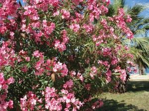 Олеандр обыкновенный,Nerium oleander L.