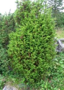 Можжевельник обыкновенный, верес — Juniperus communis L.