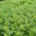 Ромашка пахучая, ромашка зеленая, ромашка безъязычковая, ромашка ромашковидная — Matricaria matricarioides (Less.)