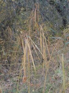 Кендырь сарматский,Trachomitum sarmatiense Woodson