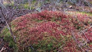 Сфагнум магелланский, сфагнум средний, сфагновый мох средний — Sphagnum magellanicum Brid.