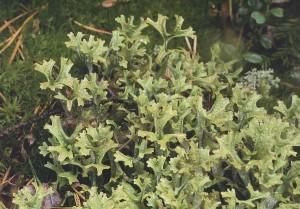 Цетрария исландская, исландский лишайник, «исландский мох» — Cetraria islandica (L.) A ch.