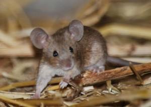 Мыши,Вредители и меры борьбы с ними