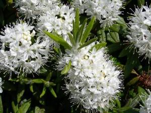 Ledum hypoleucum Kom. (семейство Ericaceae)  Багульник подбел (Багульник крупнолистный, ...)