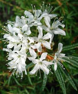 Ledum palustre L. (семейство Ericaceae)  Багульник болотный
