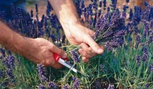 сбор дикорастущих лекарственных растений