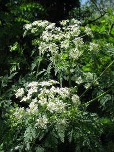 Conium maculatum L. (семейство Apiaceae)  Болиголов пятнистый (Болиголов крапчатый, ...)