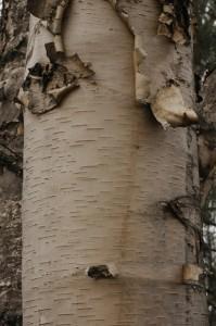Betula papyrifera Marshall (семейство Betulaceae)  Берёза бумажная
