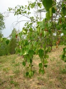 Betula platyphylla Sukaczev (семейство Betulaceae)  Берёза плосколистная (Берёза аянская, ...)