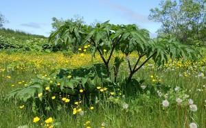 Angelica ursina (Rupr.) Maxim. (семейство Apiaceae)  Дудник медвежий