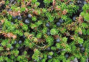 Empetrum nigrum L. (семейство Empetraceae)  Водяника чёрная (Вороника чёрная, ...)
